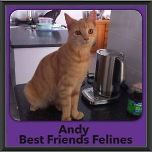 Andy - Best Friends Felines Kallangur Pine Rivers Area Preview