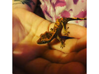 Crested Gecko + Cage & Accessories