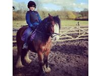 Gypsy, bay 13.3hh 7yo cob for share/part loan Arborfield - Berks
