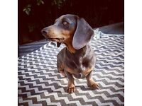 BLUE SAUSAGE DOG LOST CORBY NOTTINGHAMSHIRE