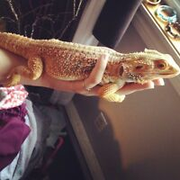 Male bearded dragon+ accessories for sale!