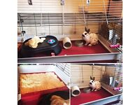English Spot Rabbit, and large indoor cage