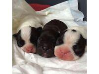 French bulldog pedigree