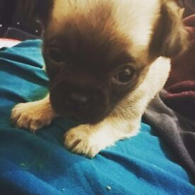 **1 LEFT** CHIHUAHUA/PUG MALE PUPPY READY IN 2 WEEKS TAKING DEPOSITS