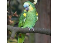Lost/missing blue fronted amazon parrot