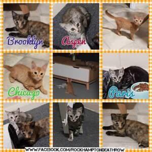 Chicago, Brooklyn, Aspen, Paris - Rescue Kittens