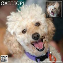 Calliopi - Small Female Toy Poodle Blend Metford Maitland Area Preview