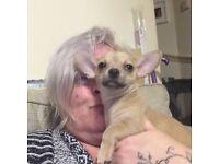 Single female Chihuahua Puppy