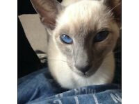 Beautiful Lilac Point Siamese Kitten