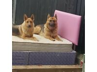 GERMAN SHEPHERD PUPS KC REG STRAIGHT BACK