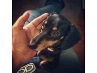 LOVELY MINIATURE DACHSHUND BOY PUPPY