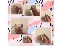 Beautiful chunky English Bulldogs for sale, 4 girls, 1 boy