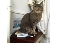 Missing Male Tabby Cat from Brynmill, Swansea (SA2)