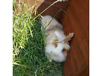 Female lionhead rabbit & outdoor hutch