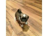 Adorable KC reg female Lhasa apso puppy