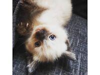 Ragdoll kitten sad sale