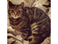 **MISSING TABBY CAT**SHEFFIELD S10**LAST SEEN EARLY HOURS OF SATURDAY MORNING**RESPONDS TO 'BASIL'**