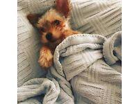 Puppy York(male)
