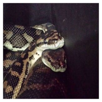 Southwest Carpet Pythons 1xM 1xF and enclosures Swan View Swan Area Preview