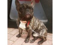 male french bulldog for sale 2yrs old