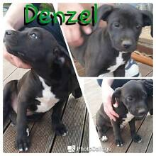 Puppies for Sale! - 1/2 Boxer x 1/4 Kelpie x 1/4 Collie Yass Yass Valley Preview