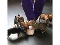 Chihuahua x jack russell puppies for sale
