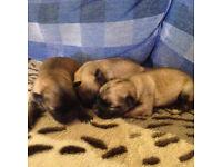 Pomchi puppies (Pomeranian x Chihauhau)