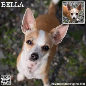Bella - Tiny Female Chihuahua Mix North Arm Cove Great Lakes Area Preview