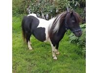 Stunning shetland mare for sale