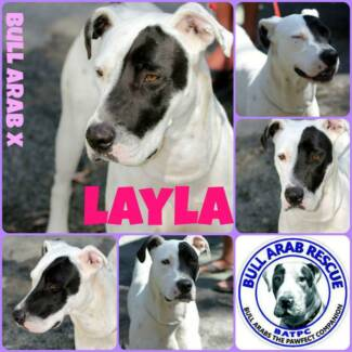 LAYLA - Female Bull Arab X Morayfield Caboolture Area Preview