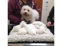 Beautiful Male Baby Pedigree Bichon Frise Puppies