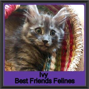 Ivy - Best Friends Felines