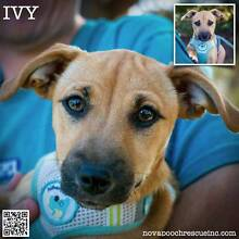 Ivy - Female Jack Russell Terrier Blend Puppy North Arm Cove Great Lakes Area Preview