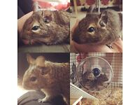 8 month degu boys