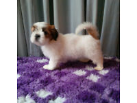 Lhasa Apso Puppies KC Reg