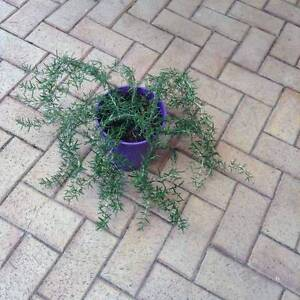Large Rosemary plant Armadale Armadale Area Preview