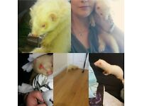 Missing since 7th of december ! white ferret