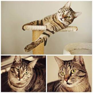 AC0185 : Maverick - CAT for ADOPTION - Vet work included Henley Brook Swan Area Preview