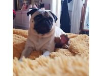 Family sought for most handsome three year old pug NOT FOR BREEDING