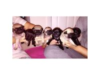 Gorgeous litter of KC registered pug puppies
