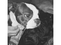 Top pedigree American Boston with papers and she's been DNA tested comes from the great blood line