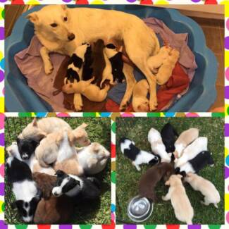 4 Kelpie X Border Collie Puppies Ready to go Now Maitland Maitland Area Preview