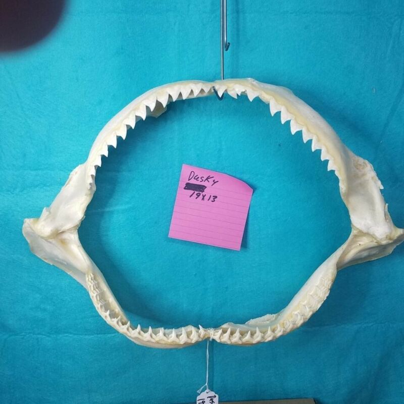 "XL19""×13"" DUSKY SHARK jaw sharks jaws teeth taxidermy ichthyology science Skull"