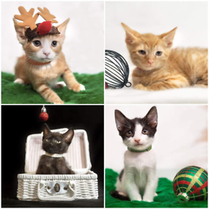 AK2903/4/5/7 : Reindeer Babies - KITTENS to ADOPT - Vet Work Inc