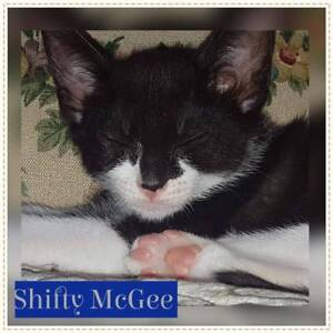 Shifty McGee~Rescue Kitten~Vet Work Included