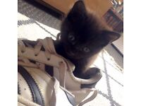 Beautiful male kitten for sale