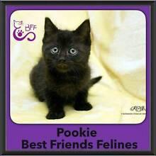 Pookie - Best Friends Felines Bray Park Pine Rivers Area Preview
