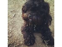 2 x Black Shihpoo females, 11 months old, sisters