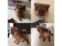 Pedigree male pomeranian tiny little boy