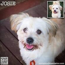 Josie - Small Female Maltese Blend Metford Maitland Area Preview